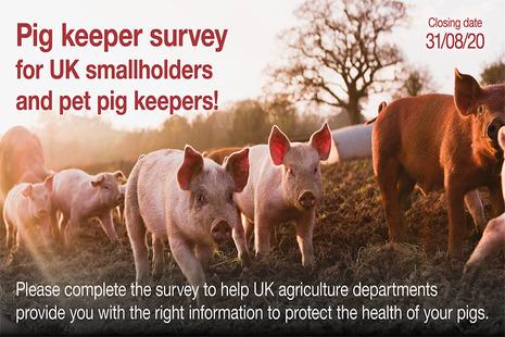 Pigs in field