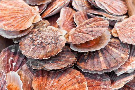 Image of fresh sea scallops