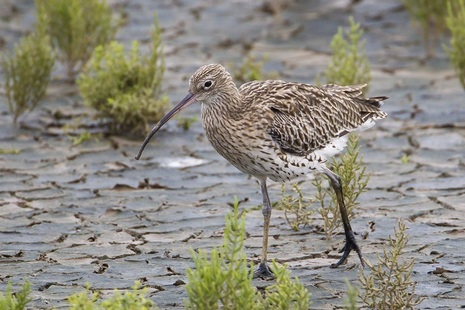 Image of Eurasian curlew bird walking on mud with green plants in background