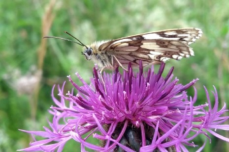 Marbled white butterfly on a wildflower