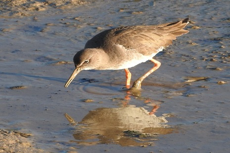 A redshank bird