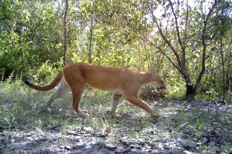 A big cat strides through the jungle, with light breaking through the trees around it.
