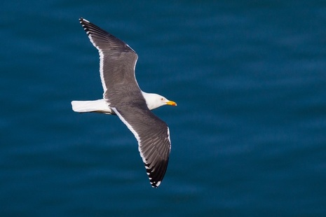A black-backed white gull flying across clear water