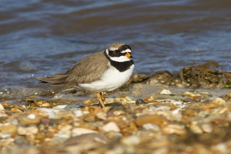 Image of ringed plover seabird on pebbles by the sea.