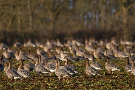 Pink-footed geese. Credit: Natural England.