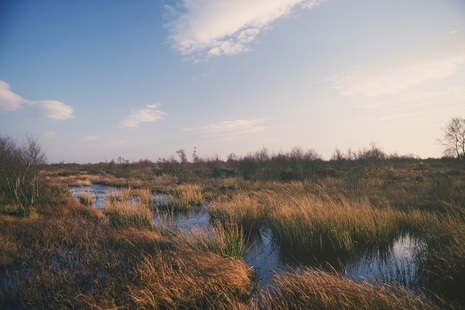 A peatland is pictured with boggy and wet-looking grasses. It is dusk and the light is very pink.