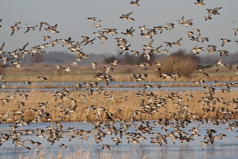 A flock of water birds taking off from a body of water.
