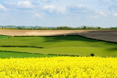 An arable field containing rapeseed.
