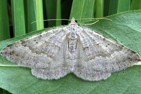 Image shows browny-white moth with its wings outstretched, resting on a leaf