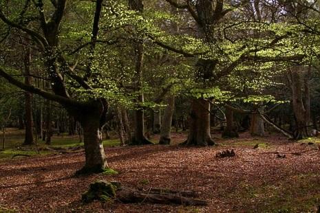 Beech trees in Mallard Wood, New Forest