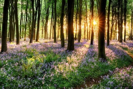 Established woodland with sunlight and bluebells.