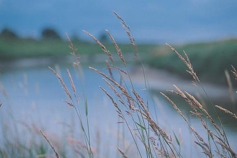 Long grasses in a field.