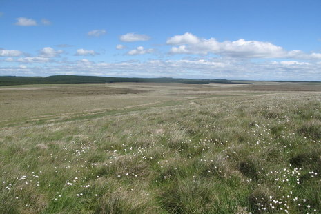 Image of peatland with white flowers