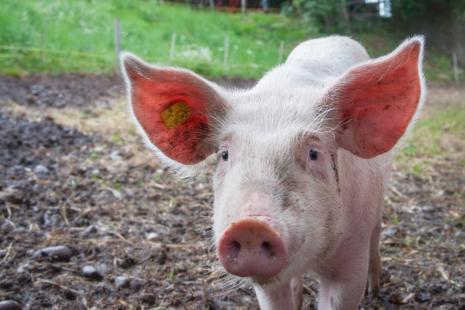 A pig on a farm.