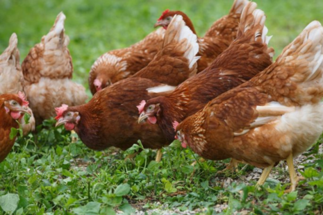 Chickens foraging outside