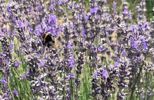 A bumblebee is extracting pollen from a large lavender bush