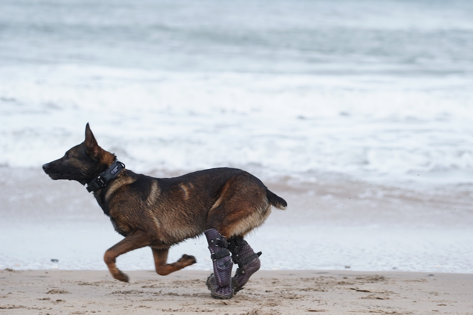 Kuno underwent extensive rehabilitation under the watchful eye of Army vets and is fitted with prosthetics that allow his to run and play