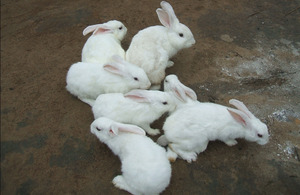 Some of Gogo Kerina's rabbits. Picture: DFID