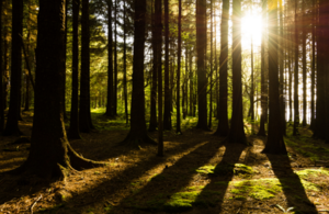 Image of sunlight streaming through a forest.