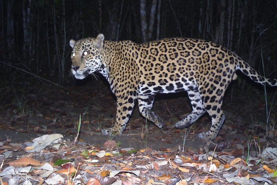 A big cat walks through the dark jungle.