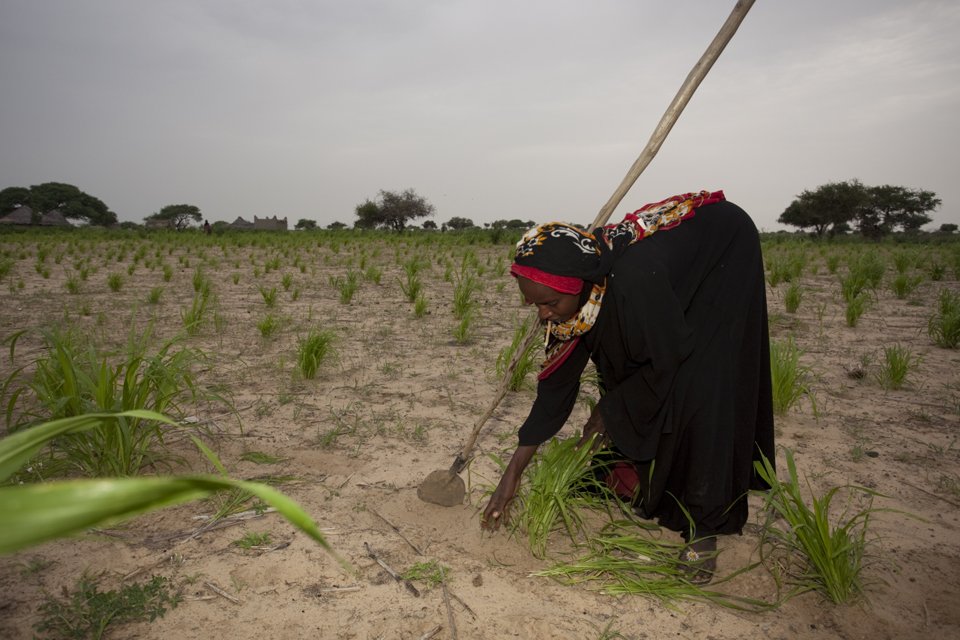 This small millet field in western Chad will probably produce just 2 to 3 bags, which will only last the family that farms it for 3 or 4 months.  Picture:  S. Hauenstein Swan / Action Against Hunger. Used with permission