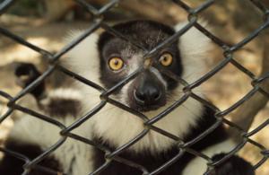 Lemur behind wire cage