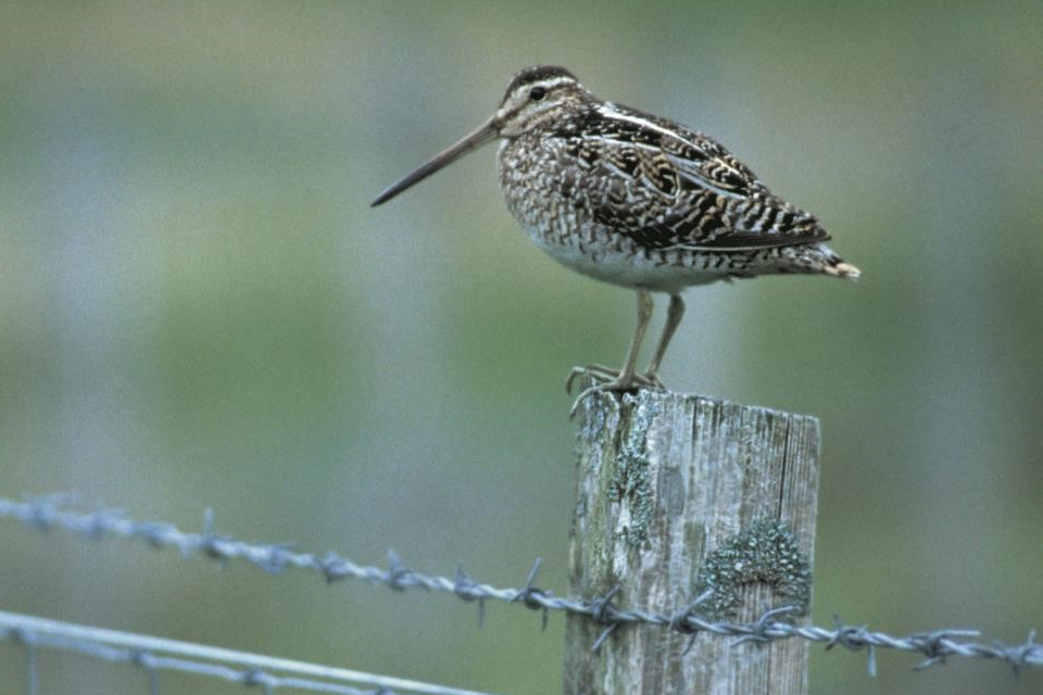 A snipe standing on a fence line