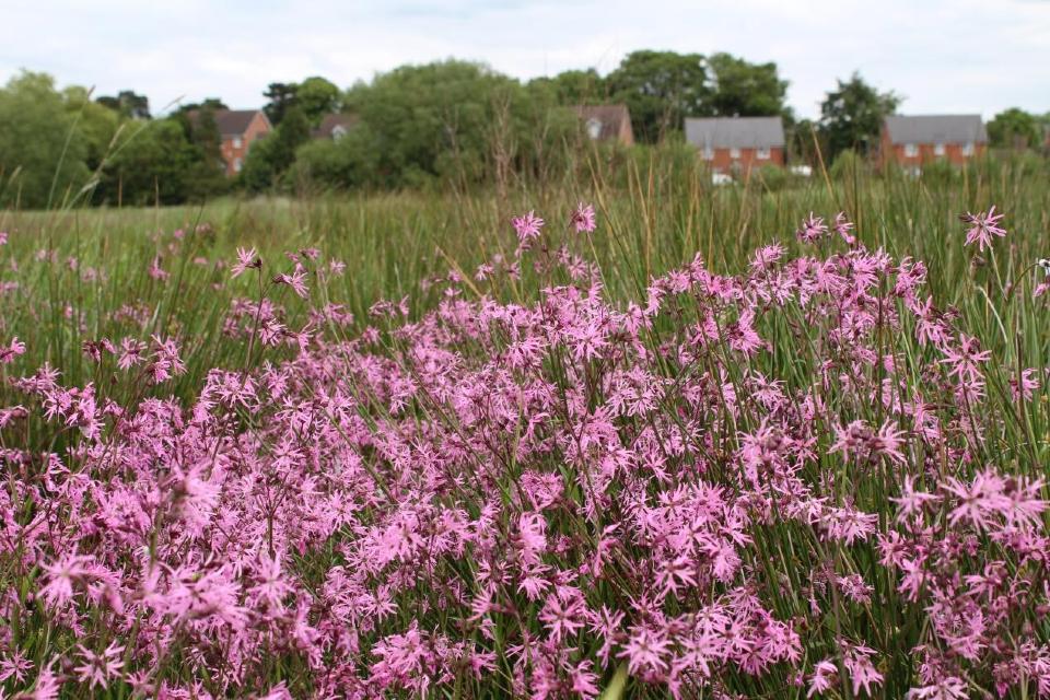 Pink flower Ragged Robin in a meadow