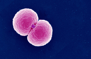 gonococcus - definition - What is