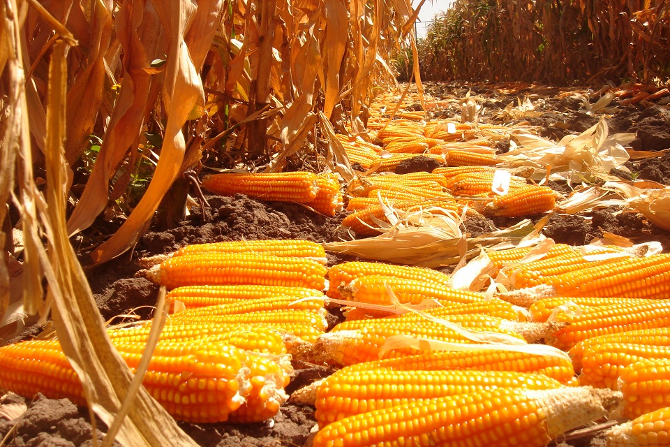 Ears of orange maize, enriched with beta-carotene, at the Zambia Agriculture Research Institute (ZARI). Picture: CIMMYT
