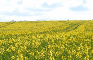 Field of rape seed in flower