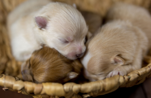 A photo of three puppies sleeping in a basket