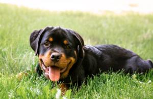 Rottweiler puppy in grass