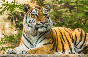 Тигр с фоном леса