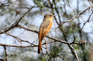 Rufous Flycatcher