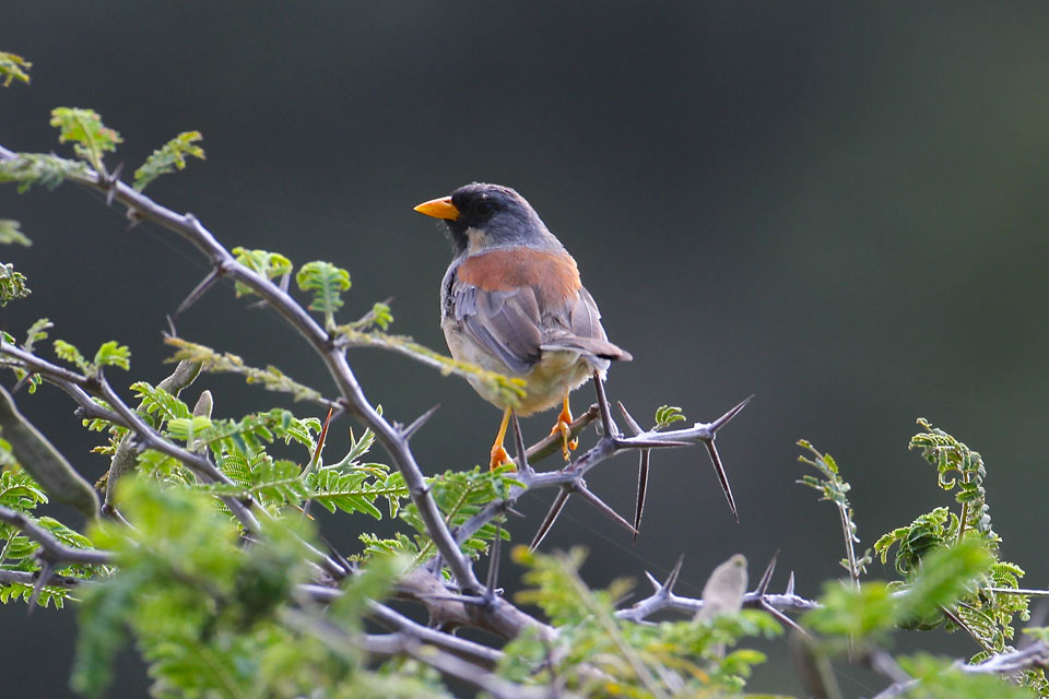 Buff Bridled Inca Finch