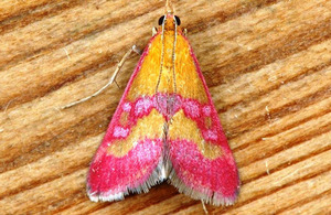 The Scarce Crimson and Gold moth [Picture: Crown copyright]