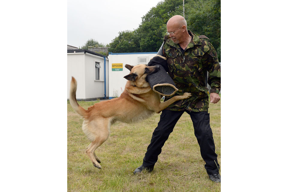 Belgian Shepherd dog attacks a handler