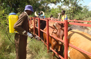 Treating cattle in Uganda