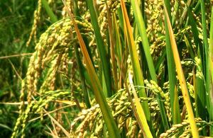 Rice seed heads