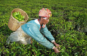 Photograph of tea picker