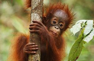 S300 orangutan
