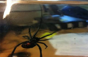 The female Black Widow spider discovered in a Sea King helicopter which had recently returned from El Centro in California