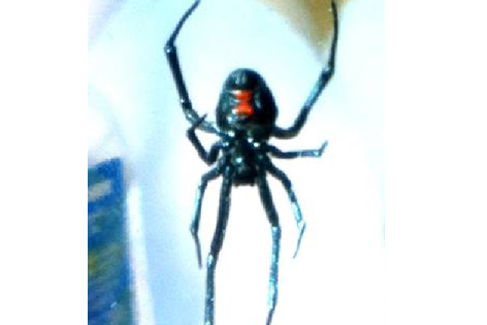 The Black Widow spider was about 22mm in diameter and had a red hour-glass patch on its belly