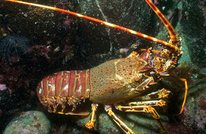 Image of marine spiny lobster.