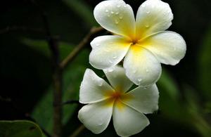 Champa flower