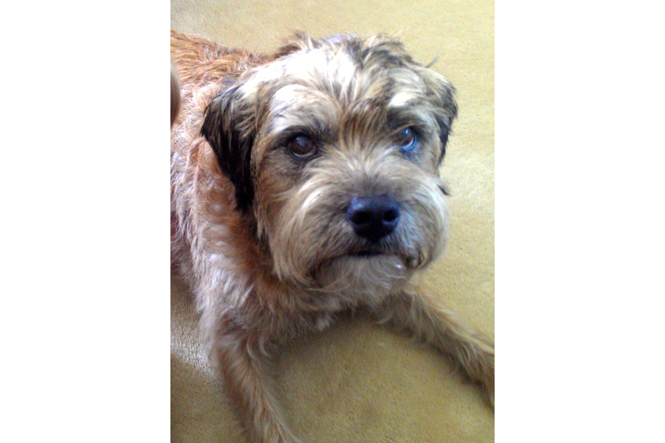 Barnaby the Border Terrier
