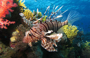 The common lionfish