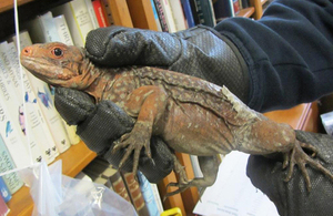 Iguanas seized by Border Force