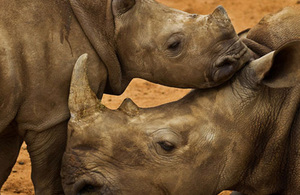 Image of a White Rhino calf, mother and juvenile male in holding pens at Hluhluwe-iMfolozi Park, South Africa, November 6 2010. This park is famous for its translocation programs which saved the Southern White Rhino from extinction. WWF is involved in fun